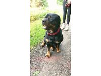 10 Rottweiler pups forsale in 3 weeks