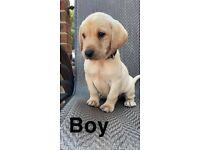 Kc yellow Labrador puppies