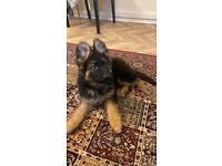 German Shepard pup 5months