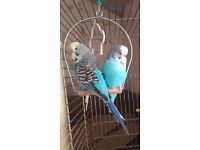 Exhibition show budgies pair. Beautifull large healthy birds