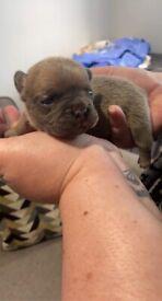French bulldog puppies £1800
