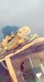 6 month old female bearded dragon with Temp 3ft set up for sale