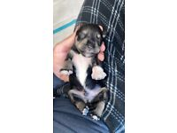 *2 BOYS LEFT* 6 Beautiful Miniature Schnauzer Pups for Sale