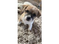 Gorgeous Bichon Frise X Jack Russell Puppies