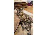 8 Month Female Tabby Kitten