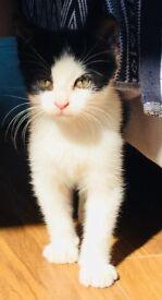 Healthy, beautiful, 12 week old Kitten for sale