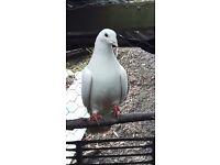 pure white garden doves