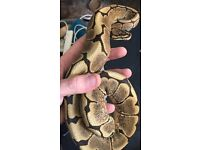 Female Spider Royal Python