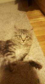 1 LEFT Long Haired Silver Tabby Kitten