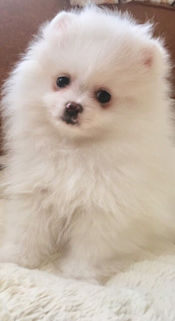 Pomeranian puppies for sale | in Ilford, London | Gumtree