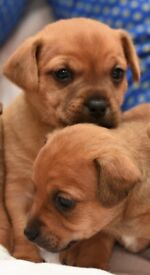 Rare Much Wenlock Miniature Jack Russell Puppies