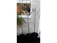 THREE FRUIT TREES FOR SALE 2 x Apple and Cherry Potted