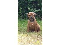American Bully XL puppy