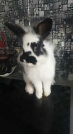 Mixed Rabbits for sale
