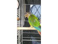 Maroon belly conure with cage