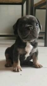 Kc pedigree French bulldogs