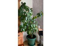 Rubber Plant (Fiscus Elastica)