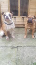 Olde Tyme Bulldogge puppies