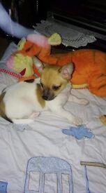 Chihuahua full vet