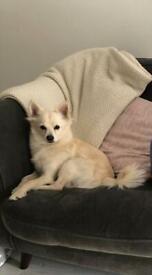 Pomeranian cross for sale
