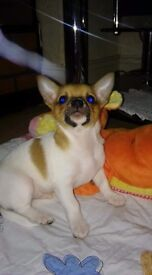 Chihuahua boy full vet