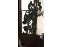 Large Rubber tree plant Ficus Elastica