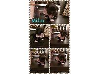 A Litter of 5 Beautiful Full Pedigree Shih Tzu Puppies