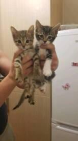 Two beautiful cross Bengal kittens!!