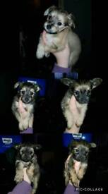 Chalkie pups for sale