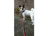 1 year old Jack Russell male