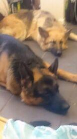 kc.reg german shepherd pups