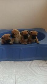 jug puppys only 3 left