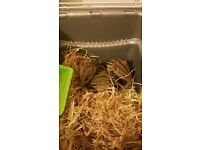 3x African Striped Mice - avaliable individually or as a group