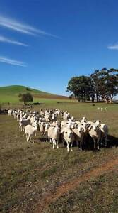 Easy care Wiltipoll sheep – Ewes and Rams – no shearing required! Adelaide CBD Adelaide City Preview