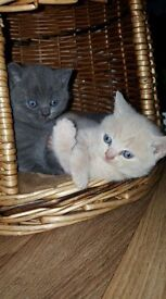 british blue hair kittens