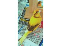 MISSING - Canary - Lost in central Eastleigh
