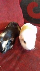 2 beautiful female guinea pigs and cage