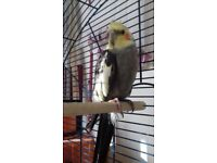 Found cockatiel edge Hill liverpool L7, in care of lost and found parrots uk
