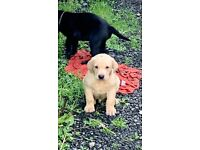 Labrador Dogs In Scotland Dogs Puppies For Sale Gumtree