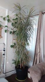 Dracaena marginata Indoor white-edged Dracaena Tree