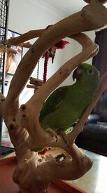 YELLOW FRONTED AMAZON PARROT WITH LARGE CAGE (liberta enterprise)+java tree perch on base+Bird bath