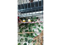 FINCHES AND BIRD CAGE