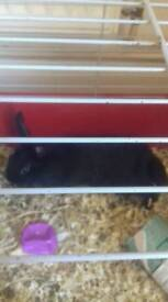 Baby rabbit for sale £15pounds pounds he is a male collection only