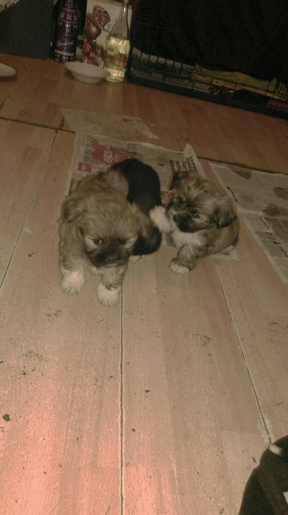 Lhasa also puppys