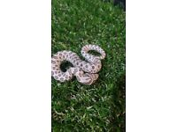 Axanthic Western Hognose for sale CB18