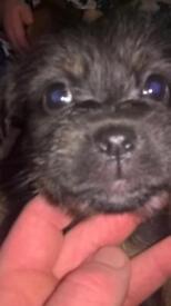Jack Russel x yorkie pups
