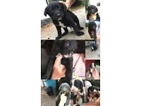 Lab x Collie pups for sale