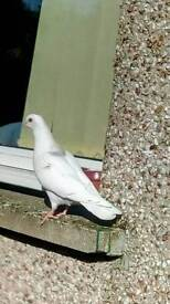 Possible lost pet pigeon