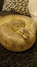 Royal python (Sterling)