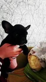 Black pure breed french bulldog